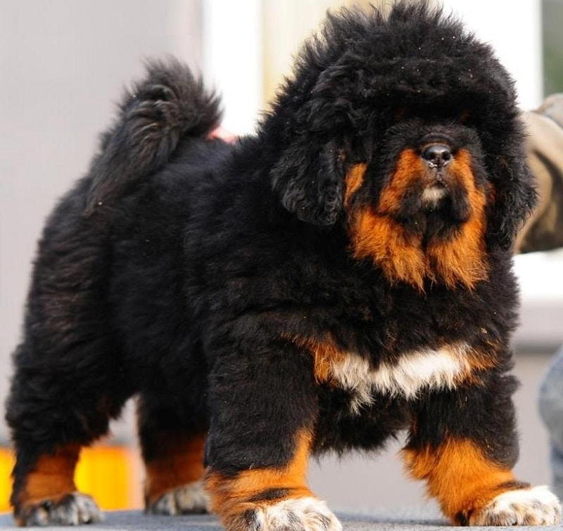 top 10 fluffiest dogs in the world   part 10